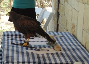 Harris Hawk at Sign-up table